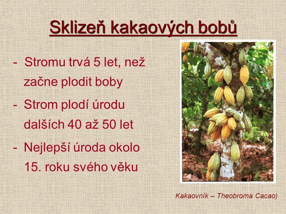 Sklizeň kakaových bobů - Stromu trvá 5 let, než začne plodit boby -Strom plodí úrodu dalších 40 až 50 let -Nejlepší úroda okolo 15. roku svého věku Ka