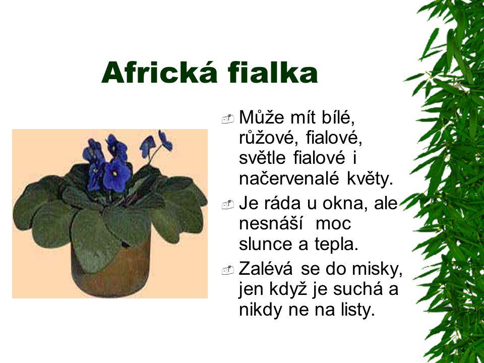 Africká fialka  Může mít bílé, růžové, fialové, světle fialové i načervenalé květy.