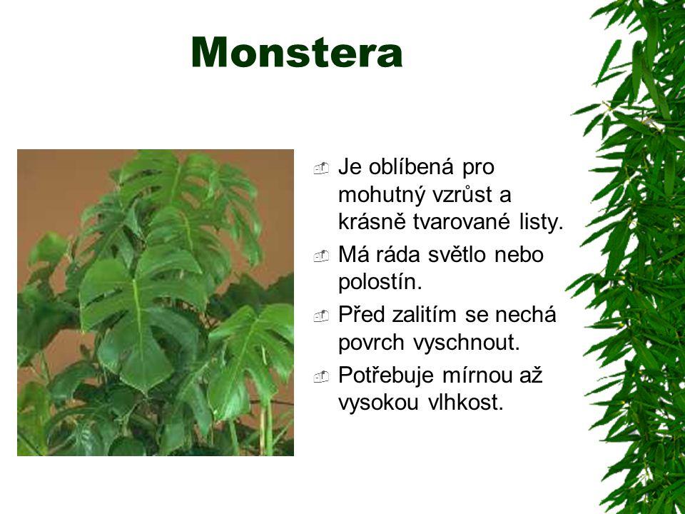 Monstera  Je oblíbená pro mohutný vzrůst a krásně tvarované listy.