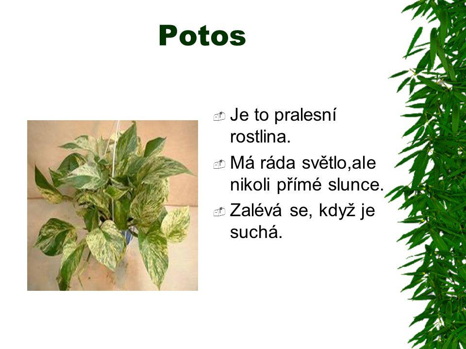Potos  Je to pralesní rostlina.  Má ráda světlo,ale nikoli přímé slunce.