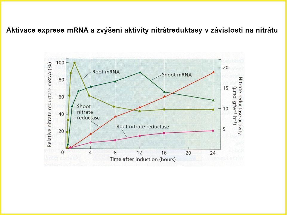 Aktivace exprese mRNA a zvýšení aktivity nitrátreduktasy v závislosti na nitrátu