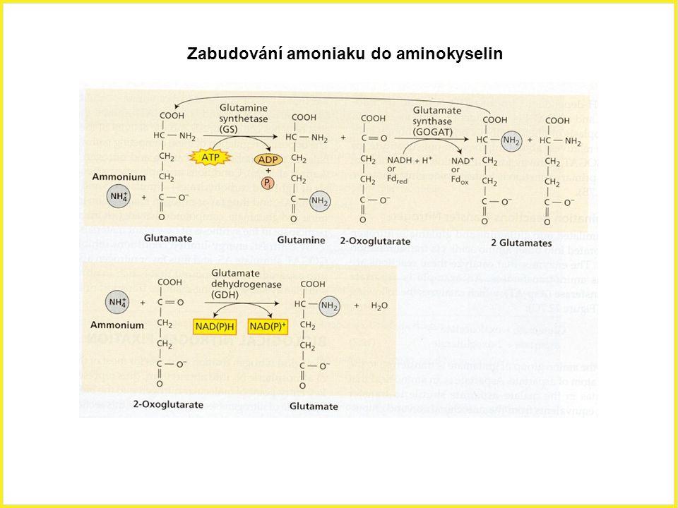 Zabudování amoniaku do aminokyselin