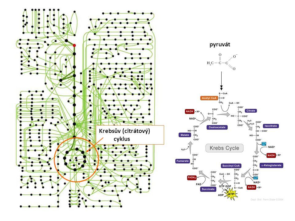 Krebsův (citrátový) cyklus pyruvát