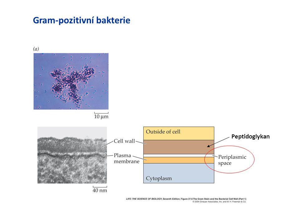 Gram-pozitivní bakterie Peptidoglykan