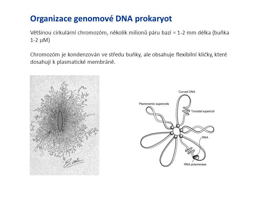 Většinou cirkulární chromozóm, několik milionů páru bazí = 1-2 mm délka (buňka 1-2  M) Chromozóm je kondenzován ve středu buňky, ale obsahuje flexibi