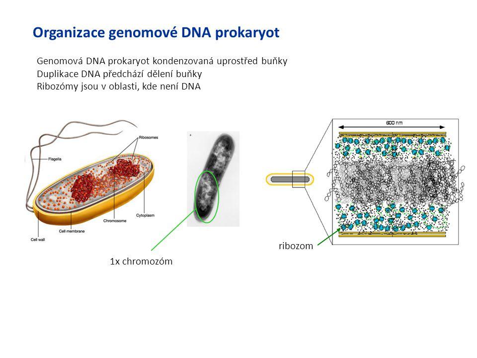 Genomová DNA prokaryot kondenzovaná uprostřed buňky Duplikace DNA předchází dělení buňky Ribozómy jsou v oblasti, kde není DNA 1x chromozóm ribozom