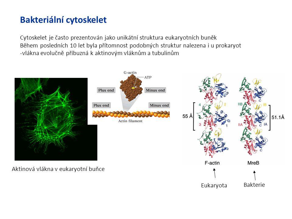 Bakteriální cytoskelet Cytoskelet je často prezentován jako unikátní struktura eukaryotních buněk Během posledních 10 let byla přítomnost podobných st