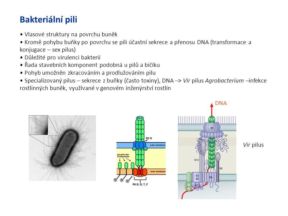 Bakteriální pili Vlasové struktury na povrchu buněk Kromě pohybu buňky po povrchu se pili účastní sekrece a přenosu DNA (transformace a konjugace – se