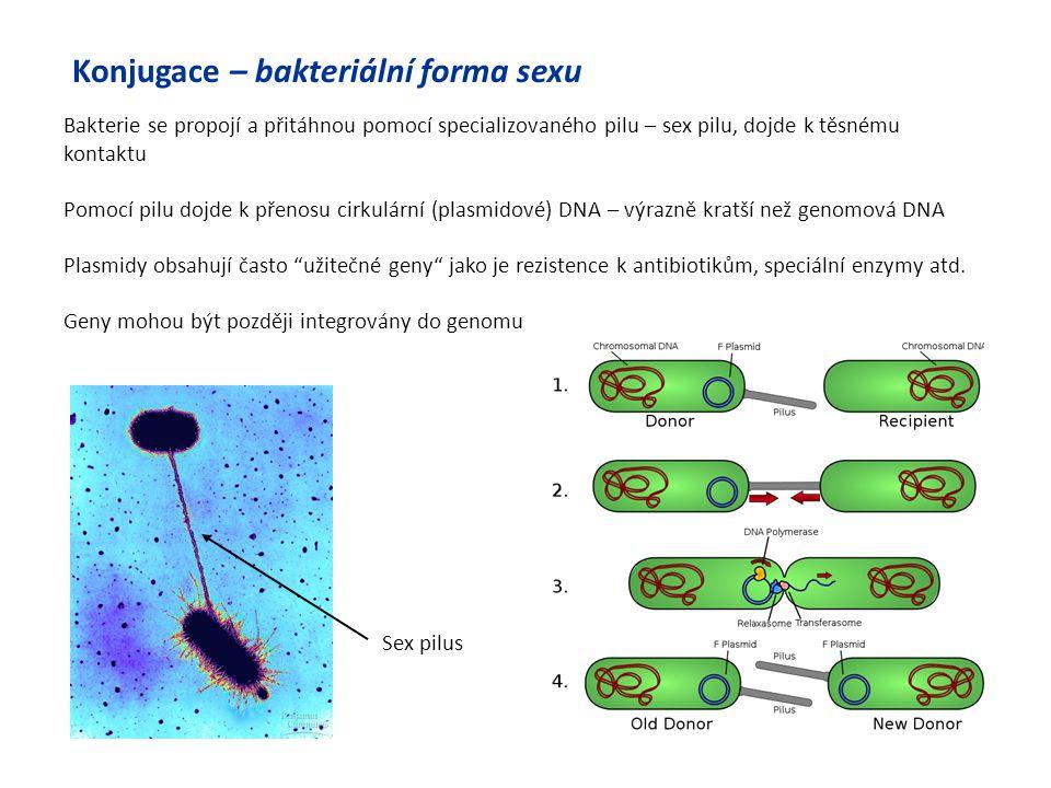 Sex pilus Konjugace – bakteriální forma sexu Bakterie se propojí a přitáhnou pomocí specializovaného pilu – sex pilu, dojde k těsnému kontaktu Pomocí
