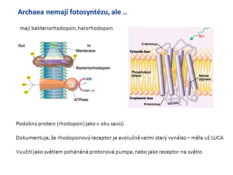 mají bakteriorhodopsin, halorhodopsin Podobný protein (rhodopsin) jako v oku savců Dokumentuje, že rhodopsinový receptor je evolučně velmi starý vynál