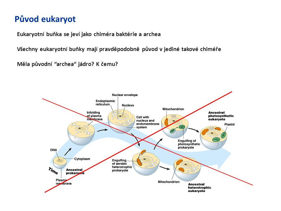 Původ eukaryot Eukaryotní buňka se jeví jako chiméra baktérie a archea Všechny eukaryotní buňky mají pravděpodobně původ v jediné takové chiméře Měla