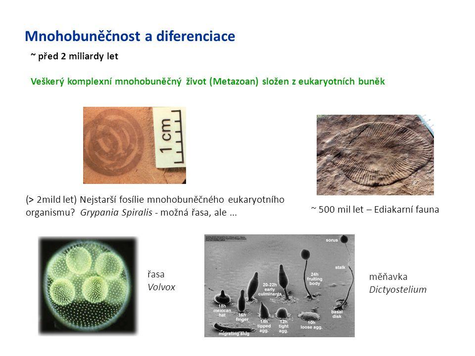 Mnohobuněčnost a diferenciace ~ před 2 miliardy let Veškerý komplexní mnohobuněčný život (Metazoan) složen z eukaryotních buněk (> 2mild let) Nejstarš