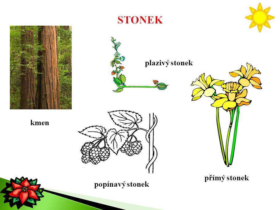 kmen plazivý stonek přímý stonek popínavý stonek