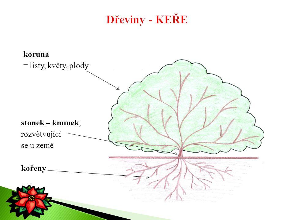 koruna = listy, květy, plody stonek – kmínek, rozvětvující se u země kořeny