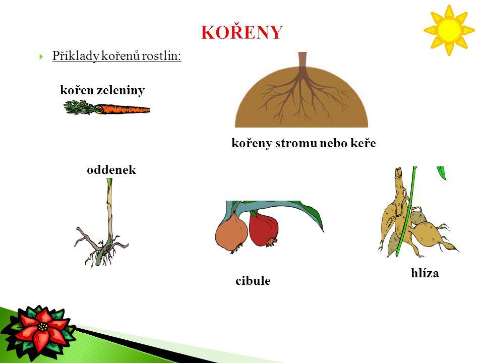 Příklady kořenů rostlin: kořen zeleniny oddenek hlíza cibule kořeny stromu nebo keře
