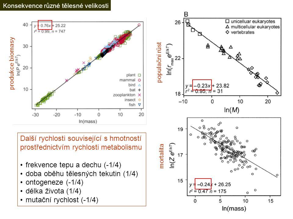 produkce biomasy mortalita populační růst Další rychlosti související s hmotností prostřednictvím rychlosti metabolismu frekvence tepu a dechu (-1/4) doba oběhu tělesných tekutin (1/4) ontogeneze (-1/4) délka života (1/4) mutační rychlost (-1/4) Konsekvence různé tělesné velikosti