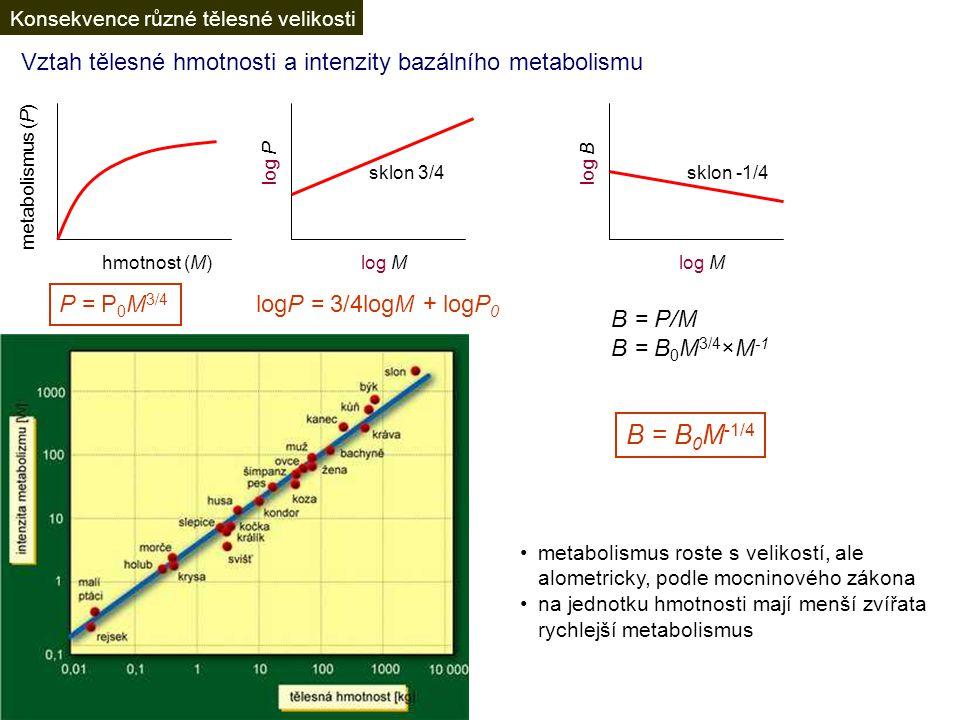 Vztah tělesné hmotnosti a intenzity bazálního metabolismu hmotnost (M) metabolismus (P) logP = 3/4logM + logP 0 P = P 0 M 3/4 B = P/M B = B 0 M 3/4 ×M -1 B = B 0 M -1/4 metabolismus roste s velikostí, ale alometricky, podle mocninového zákona na jednotku hmotnosti mají menší zvířata rychlejší metabolismus log P log M sklon 3/4 log M log B sklon -1/4 Konsekvence různé tělesné velikosti