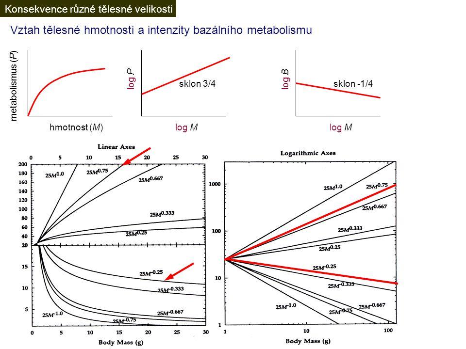 Vztah tělesné hmotnosti a intenzity bazálního metabolismu hmotnost (M) metabolismus (P) logP = 3/4logM + logP 0 P = P 0 M 3/4 B = P/M B = B 0 M 3/4 ×M -1 log P log M sklon 3/4 log M log B sklon -1/4 Konsekvence různé tělesné velikosti