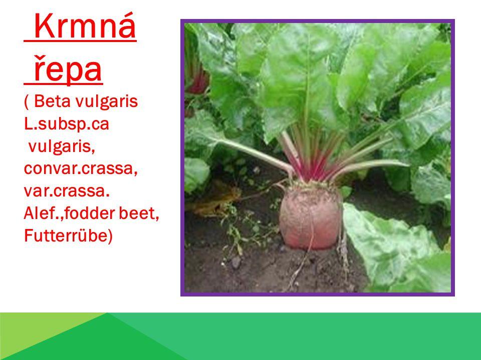 Krmná řepa ( Beta vulgaris L.subsp.ca vulgaris, convar.crassa, var.crassa.