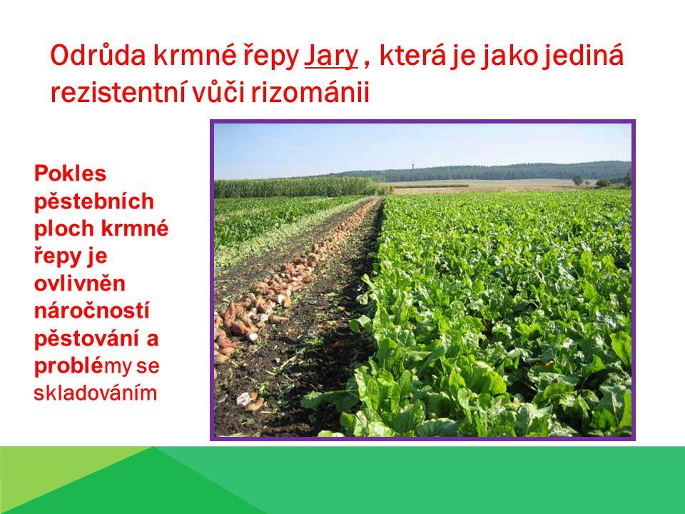 Odrůda krmné řepy Jary, která je jako jediná rezistentní vůči rizománii Pokles pěstebních ploch krmné řepy je ovlivněn náročností pěstování a problé my se skladováním