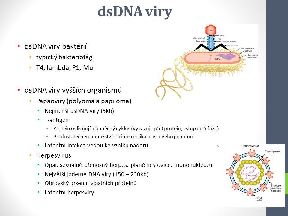dsDNA viry dsDNA viry baktérií typický baktériofág T4, lambda, P1, Mu dsDNA viry vyšších organismů Papaoviry (polyoma a papiloma) Nejmenší dsDNA viry