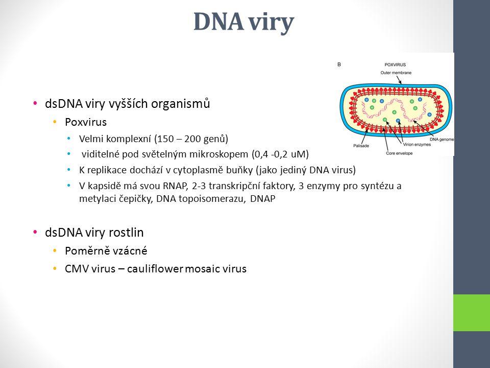 dsDNA viry vyšších organismů Poxvirus Velmi komplexní (150 – 200 genů) viditelné pod světelným mikroskopem (0,4 -0,2 uM) K replikace dochází v cytopla