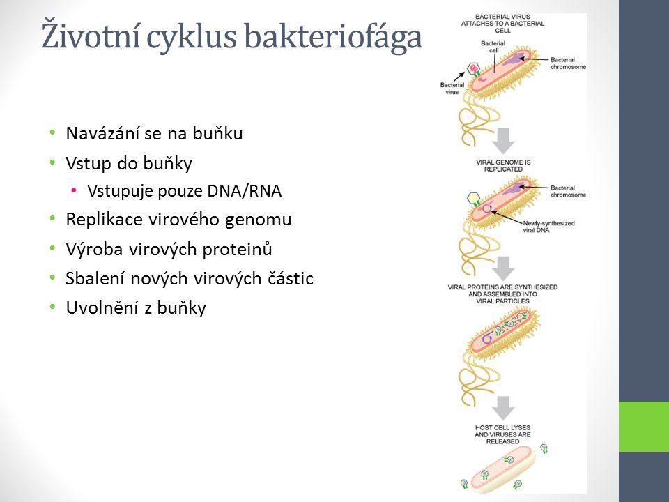 Životní cyklus bakteriofága Navázání se na buňku Vstup do buňky Vstupuje pouze DNA/RNA Replikace virového genomu Výroba virových proteinů Sbalení nový