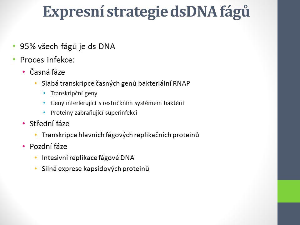 Expresní strategie dsDNA fágů 95% všech fágů je ds DNA Proces infekce: Časná fáze Slabá transkripce časných genů bakteriální RNAP Transkripční geny Ge