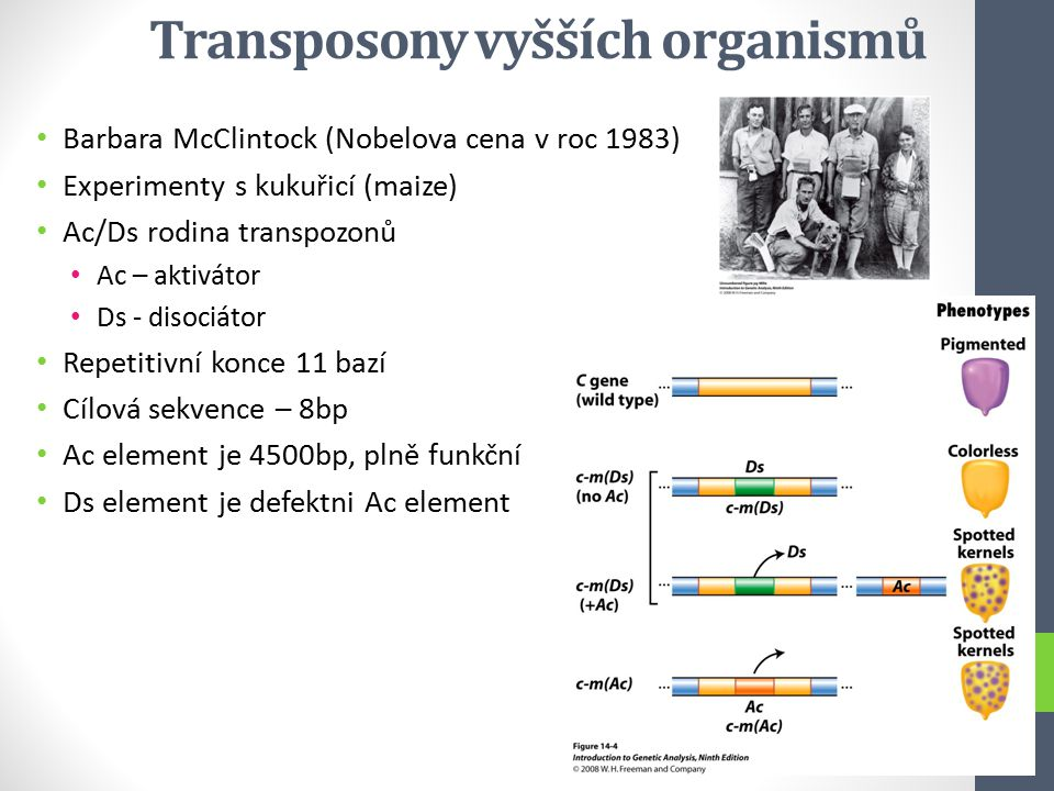 Transposony vyšších organismů Barbara McClintock (Nobelova cena v roc 1983) Experimenty s kukuřicí (maize) Ac/Ds rodina transpozonů Ac – aktivátor Ds