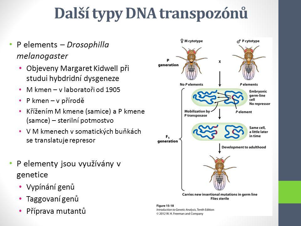 Další typy DNA transpozónů P elements – Drosophilla melanogaster Objeveny Margaret Kidwell při studui hybdridní dysgeneze M kmen – v laboratoři od 190