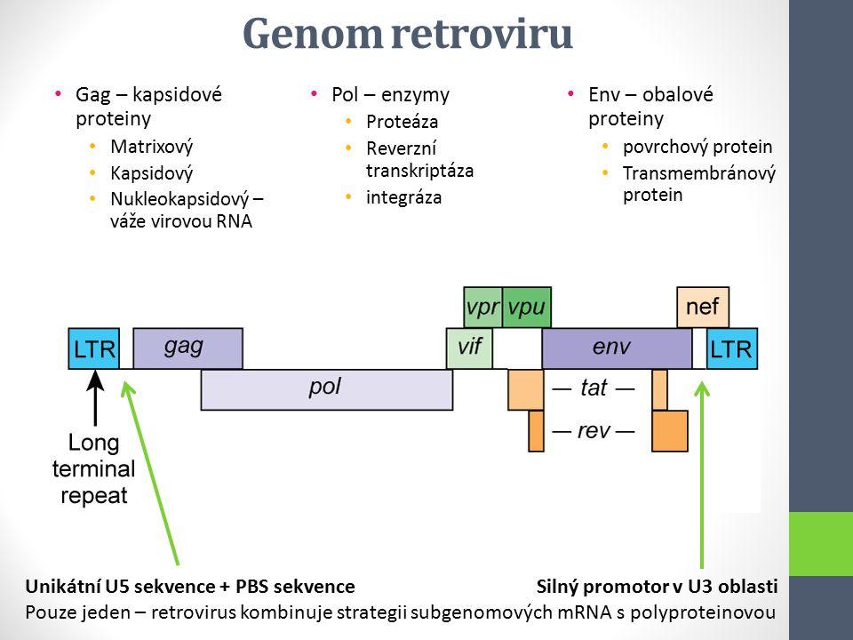 Gag – kapsidové proteiny Matrixový Kapsidový Nukleokapsidový – váže virovou RNA Pol – enzymy Proteáza Reverzní transkriptáza integráza Env – obalové p