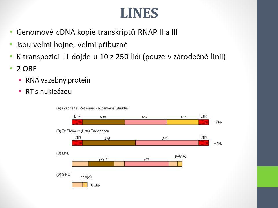 LINES Genomové cDNA kopie transkriptů RNAP II a III Jsou velmi hojné, velmi příbuzné K transpozici L1 dojde u 10 z 250 lidí (pouze v zárodečné linii)