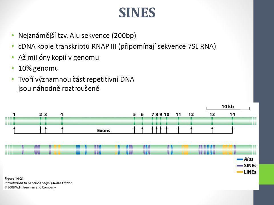SINES Nejznámější tzv. Alu sekvence (200bp) cDNA kopie transkriptů RNAP III (připomínají sekvence 7SL RNA) Až milióny kopií v genomu 10% genomu Tvoří