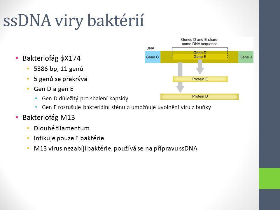 ssDNA viry baktérií Bakteriofág  X174 5386 bp, 11 genů 5 genů se překrývá Gen D a gen E Gen D důležitý pro sbalení kapsidy Gen E rozrušuje bakteriáln