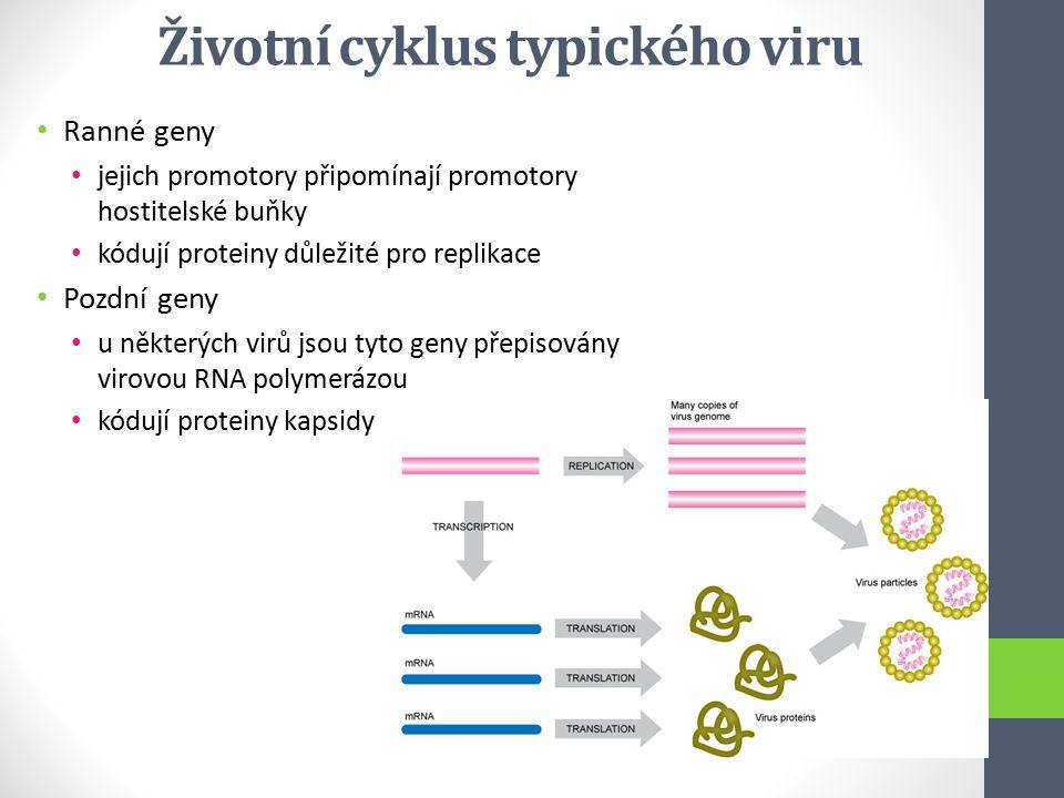 Ranné geny jejich promotory připomínají promotory hostitelské buňky kódují proteiny důležité pro replikace Pozdní geny u některých virů jsou tyto geny
