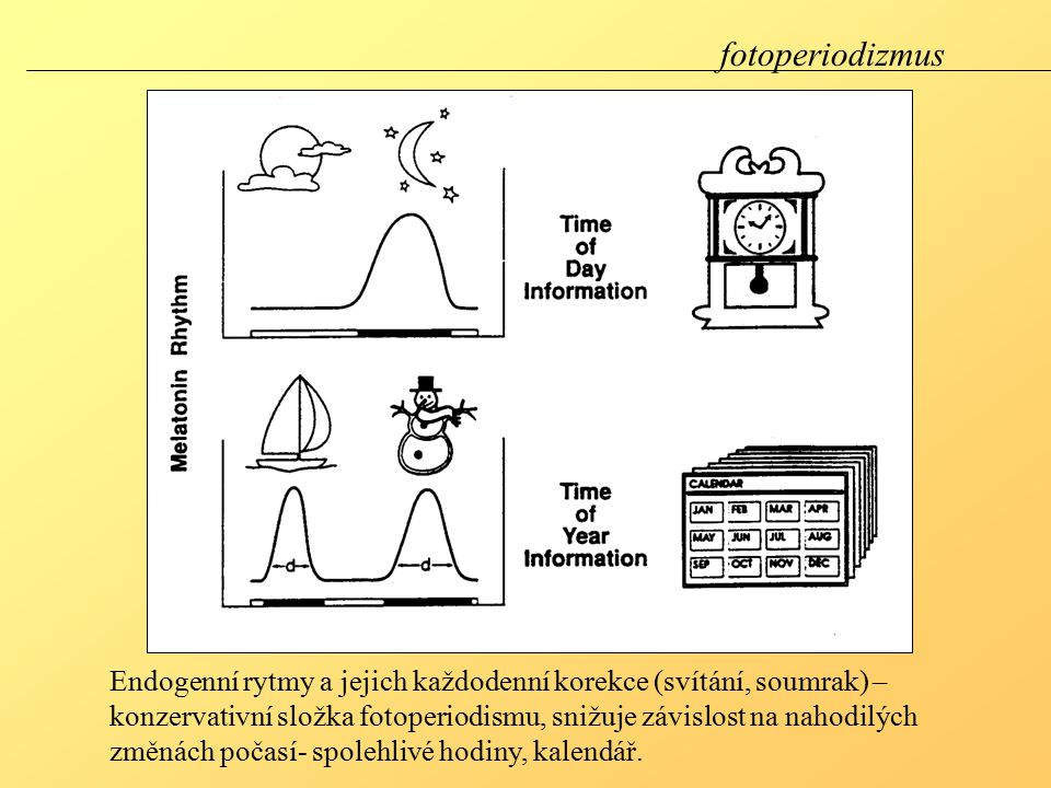 fotoperiodizmus Endogenní rytmy a jejich každodenní korekce (svítání, soumrak) – konzervativní složka fotoperiodismu, snižuje závislost na nahodilých změnách počasí- spolehlivé hodiny, kalendář.