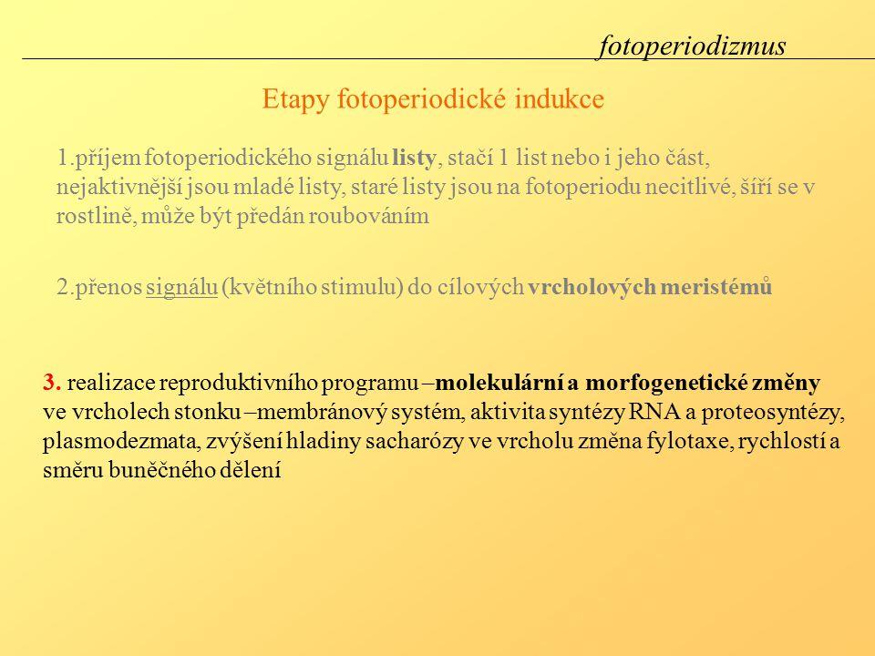 Etapy fotoperiodické indukce 3.