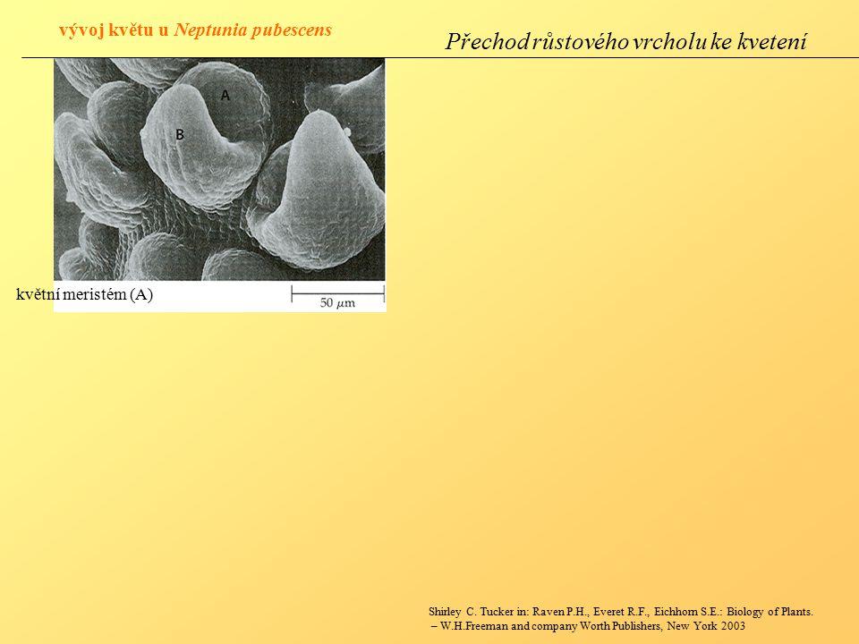 vývoj květu u Neptunia pubescens květní meristém (A) Shirley C.