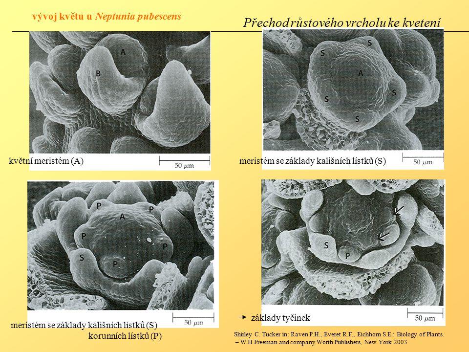 Přechod růstového vrcholu ke kvetení květní meristém (A)meristém se základy kališních lístků (S) korunních lístků (P) základy tyčinek Shirley C.