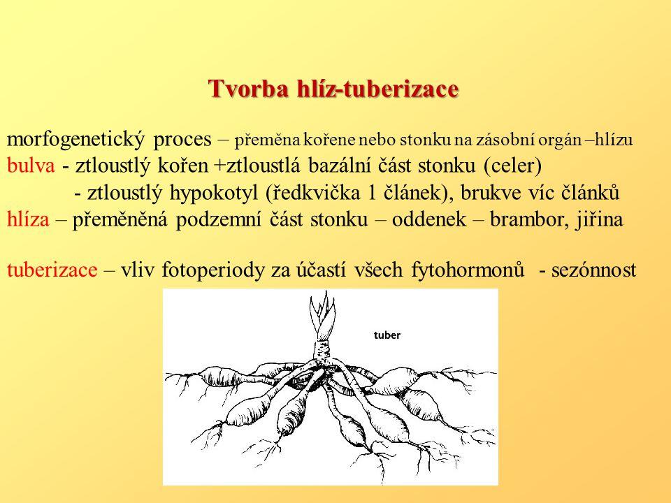 Tvorba hlíz-tuberizace morfogenetický proces – přeměna kořene nebo stonku na zásobní orgán –hlízu bulva - ztloustlý kořen +ztloustlá bazální část stonku (celer) - ztloustlý hypokotyl (ředkvička 1 článek), brukve víc článků hlíza – přeměněná podzemní část stonku – oddenek – brambor, jiřina tuberizace – vliv fotoperiody za účastí všech fytohormonů - sezónnost