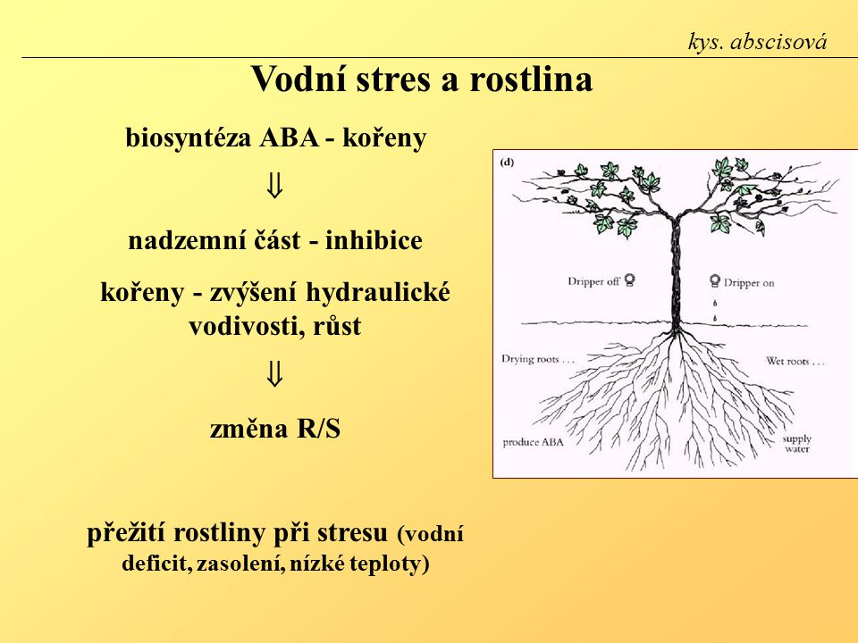 Vodní stres a rostlina biosyntéza ABA - kořeny  nadzemní část - inhibice kořeny - zvýšení hydraulické vodivosti, růst  změna R/S přežití rostliny při stresu (vodní deficit, zasolení, nízké teploty) kys.