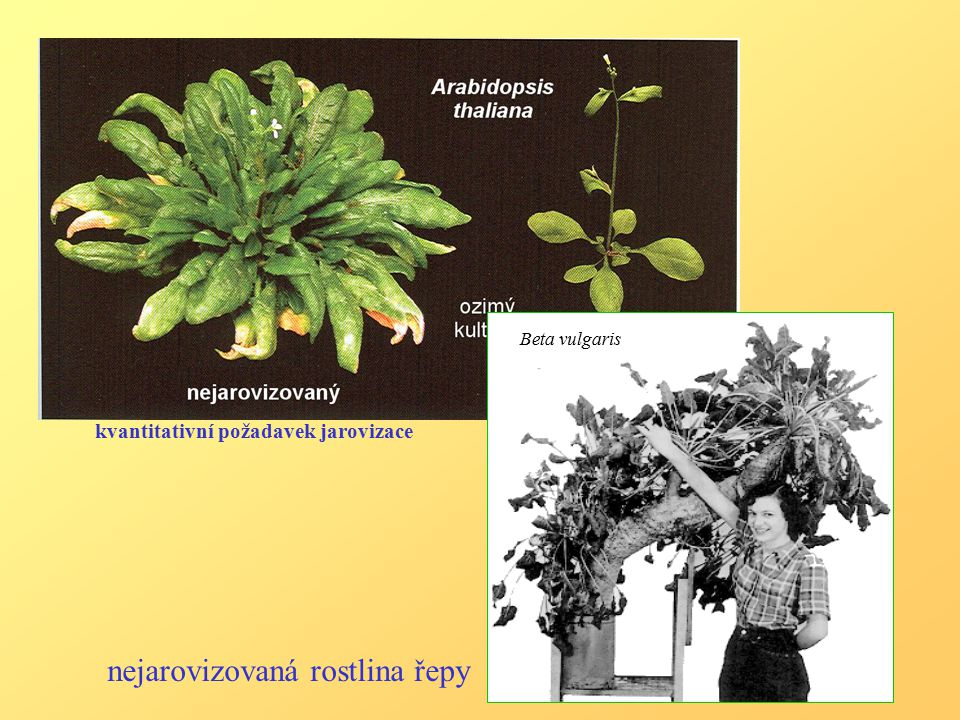 kvantitativní požadavek jarovizace Beta vulgaris nejarovizovaná rostlina řepy