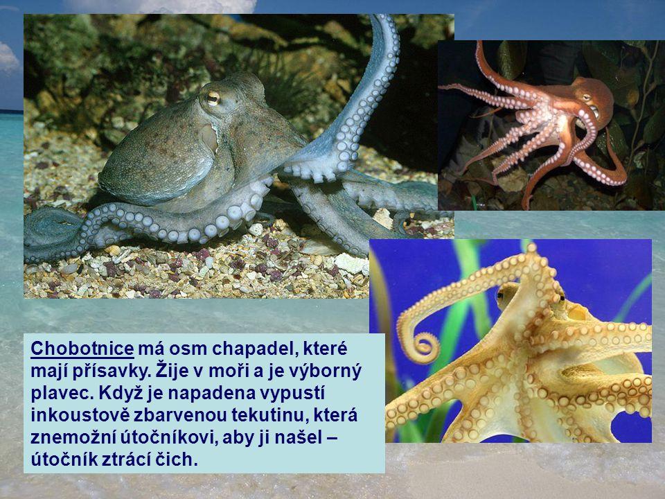Chobotnice má osm chapadel, které mají přísavky. Žije v moři a je výborný plavec. Když je napadena vypustí inkoustově zbarvenou tekutinu, která znemož