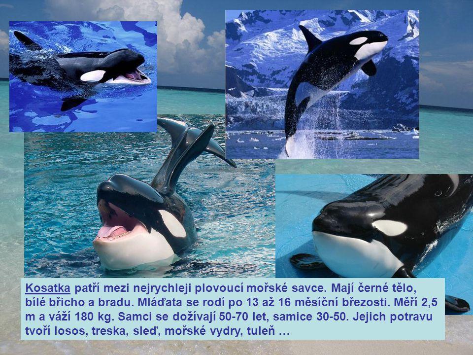 Kosatka patří mezi nejrychleji plovoucí mořské savce. Mají černé tělo, bílé břicho a bradu. Mláďata se rodí po 13 až 16 měsíční březosti. Měří 2,5 m a