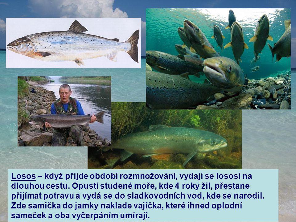 Losos – když přijde období rozmnožování, vydají se lososi na dlouhou cestu. Opustí studené moře, kde 4 roky žil, přestane přijímat potravu a vydá se d