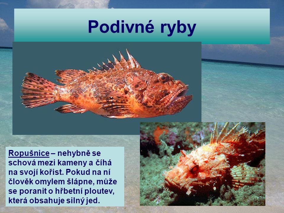 Podivné ryby Ropušnice – nehybně se schová mezi kameny a číhá na svojí kořist. Pokud na ní člověk omylem šlápne, může se poranit o hřbetní ploutev, kt
