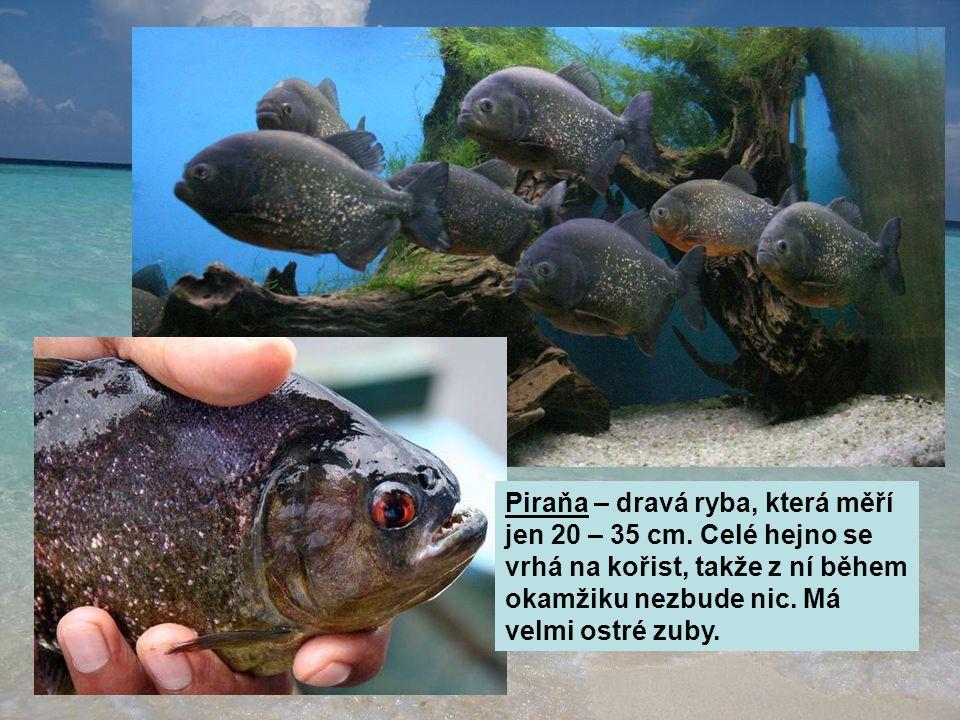 Piraňa – dravá ryba, která měří jen 20 – 35 cm. Celé hejno se vrhá na kořist, takže z ní během okamžiku nezbude nic. Má velmi ostré zuby.