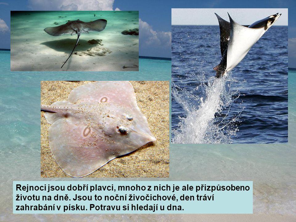 Rejnoci jsou dobří plavci, mnoho z nich je ale přizpůsobeno životu na dně. Jsou to noční živočichové, den tráví zahrabání v písku. Potravu si hledají