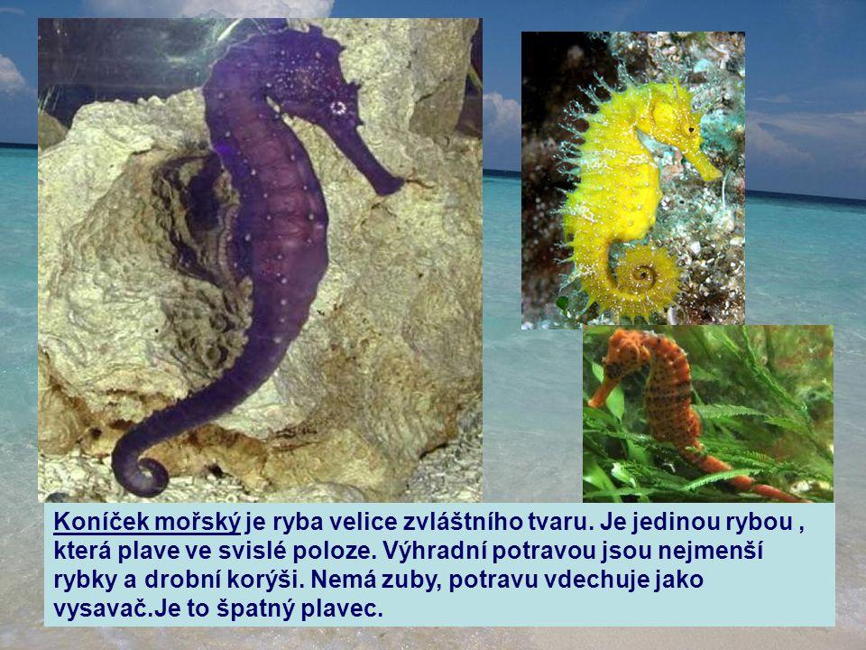 Koníček mořský je ryba velice zvláštního tvaru. Je jedinou rybou, která plave ve svislé poloze. Výhradní potravou jsou nejmenší rybky a drobní korýši.