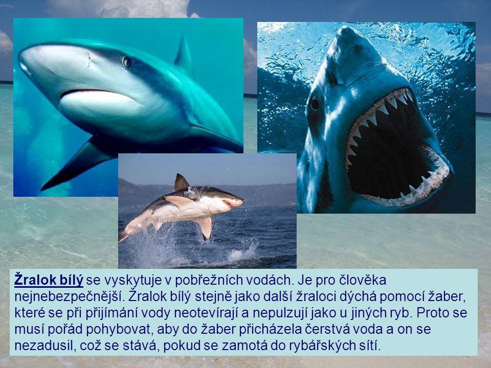 Žralok bílý se vyskytuje v pobřežních vodách. Je pro člověka nejnebezpečnější. Žralok bílý stejně jako další žraloci dýchá pomocí žaber, které se při